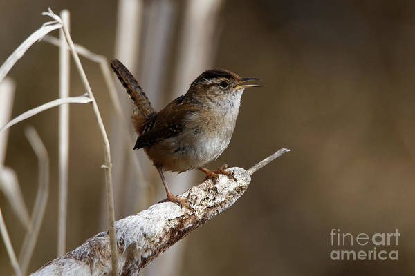 Photograph - The Singing Wren by Sue Harper
