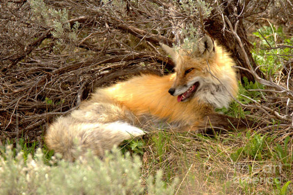 Photograph - The Smiling Fox by Adam Jewell