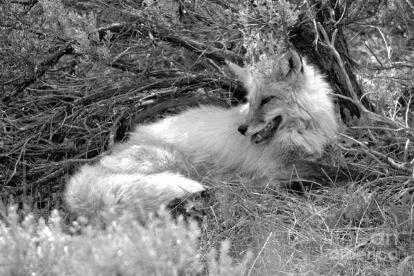 Photograph - The Smiling Fox Black And White by Adam Jewell