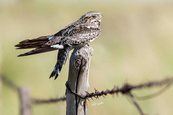 Wall Art - Photograph - The Snoozing Nighthawk by Bill Kesler