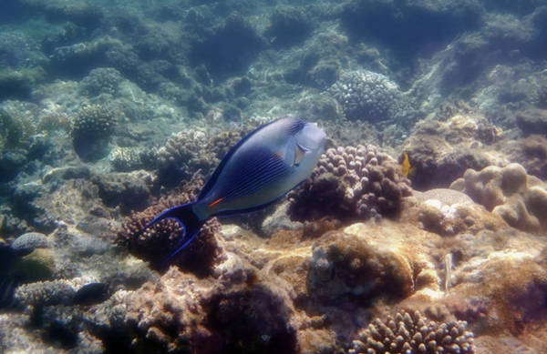 Photograph - The Sohal Surgeonfish Of The Red Sea Coralreefs by Johanna Hurmerinta