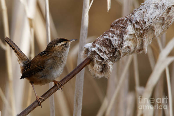 Photograph - The Song Bird Wren by Sue Harper