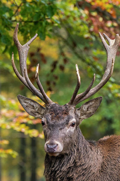 Photograph - The Stag by Arterra Picture Library