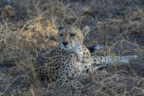 Photograph - Cheetah In Repose by Thomas Kallmeyer