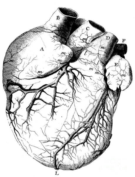 Wall Art - Drawing - The Structure Of The Heart, Its Action, And Its Diseases by French School