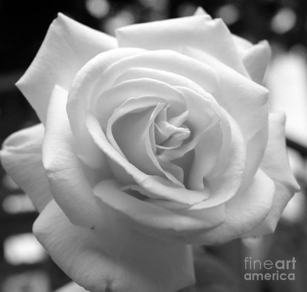Photograph - The Subtle Rose by Jeni Gray