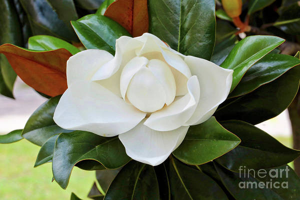 Photograph - The Sweetest Magnolia by Carol Groenen