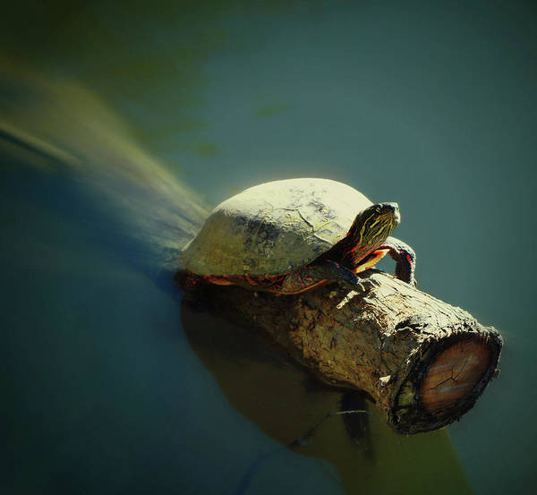 Photograph - The Tanning Turtle by Cyryn Fyrcyd