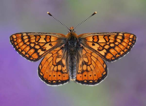 Fritillary Wall Art - Photograph - The Tiny Fauna Of Provence In Spring by Tim Perceval