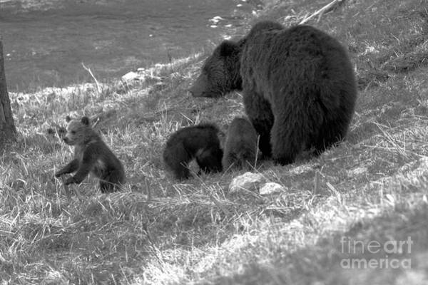 Photograph - The Toublemaker Of The Grizzly Trio Black And White by Adam Jewell