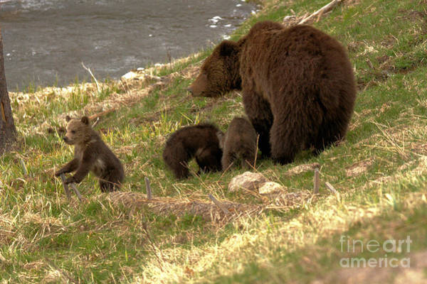 Photograph - The Troublemaker Of The Grizzly Trio by Adam Jewell