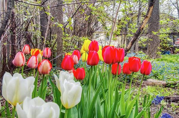 Photograph - The Tulips Are Out. by Jim Lepard