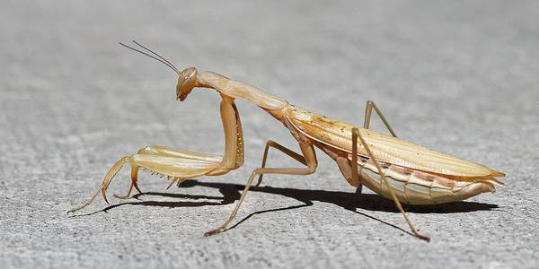 Photograph - The Urban Mantis by KJ Swan