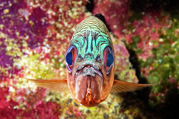 Wall Art - Photograph - The Violet Soldierfish  Myripristis by Dave Fleetham