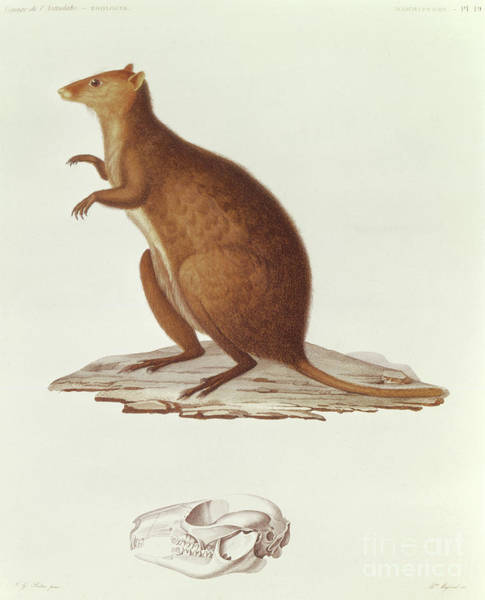 Wall Art - Drawing - The Wallaby Or Short Tailed Kangaroo by Jean Gabriel Pretre