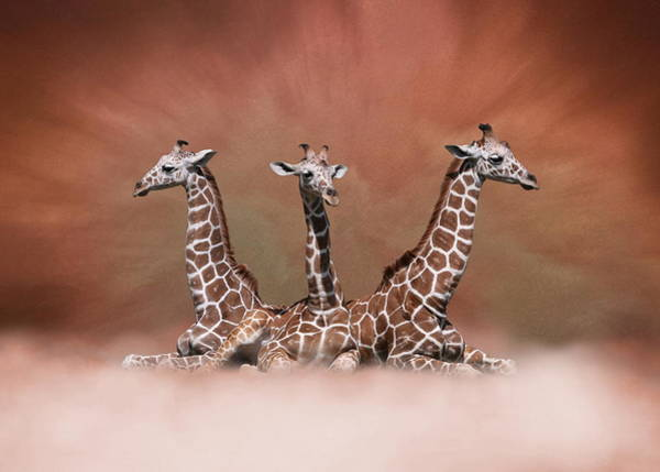 Digital Art - The Watchers - Three Giraffes by Debi Dalio