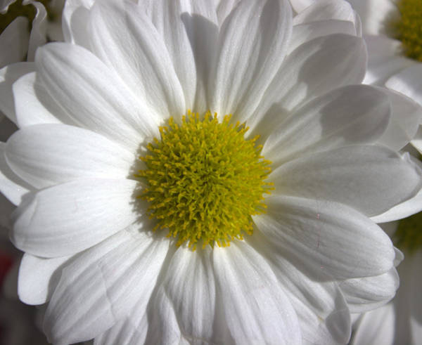 Mixed Media - The White Daisy by Siobhan Dempsey