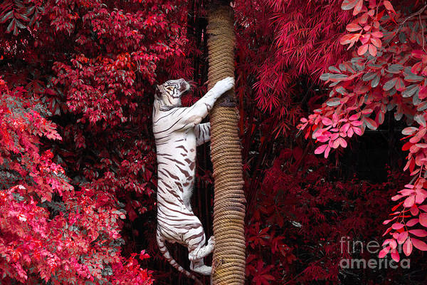 Wall Art - Photograph - The White Tiger by Jeep2499