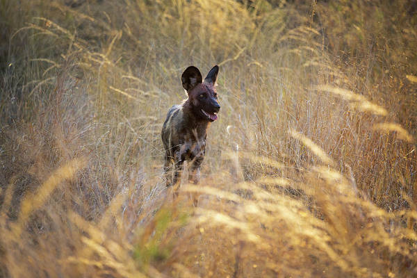 Photograph - The Wild Dog Of Africa by John Rodrigues