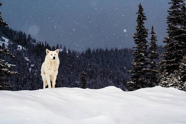 Photograph - The Wolf by Evgeni Dinev
