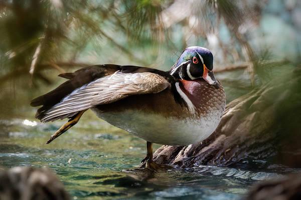 Wall Art - Photograph - The Wood Duck Stretch  by Saija Lehtonen