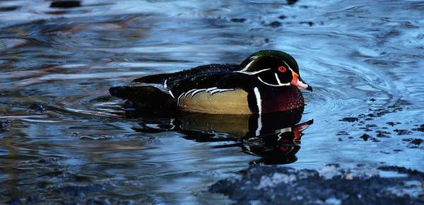 Wall Art - Photograph - The Wood Duck by Whispering Peaks Photography