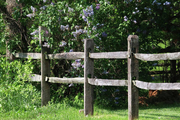 Photograph - The Wood Fence With Lilacs by Trina Ansel