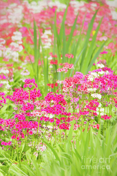 Photograph - The World Laughs In Flowers - Primula by Marilyn Cornwell