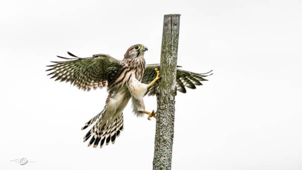 Photograph - The Young Kestrel Climbing On A Wooden Fence Pole by Torbjorn Swenelius