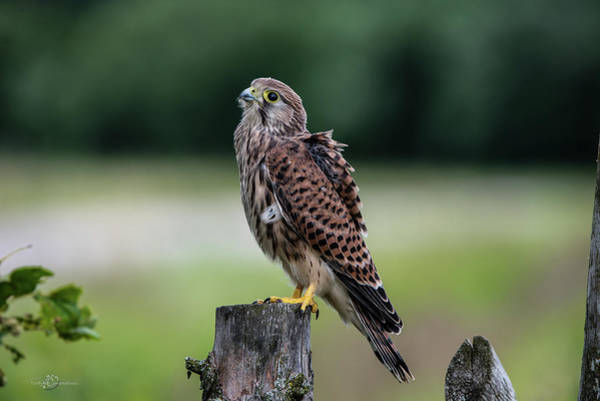 Wall Art - Photograph - The Young Kestrel Perching On A Wooden Fence Pole  by Torbjorn Swenelius