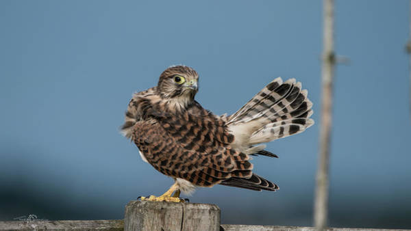 Photograph - The Young Kestrel's Tail In The Air by Torbjorn Swenelius