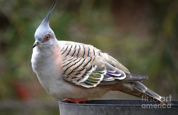 Wall Art - Digital Art - There Are Pigeons And Then There Are Crested Pigeons by Lawrence Davis