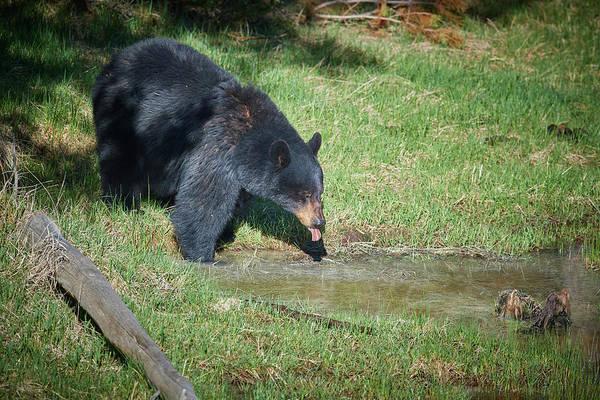 Wall Art - Photograph - Thirsty Bear by Paul Freidlund