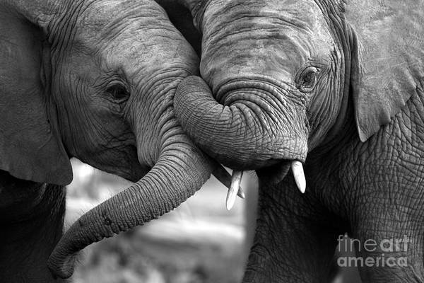 Two Friends Wall Art - Photograph - This Amazing Black And White Photo Of by Jonathan Pledger