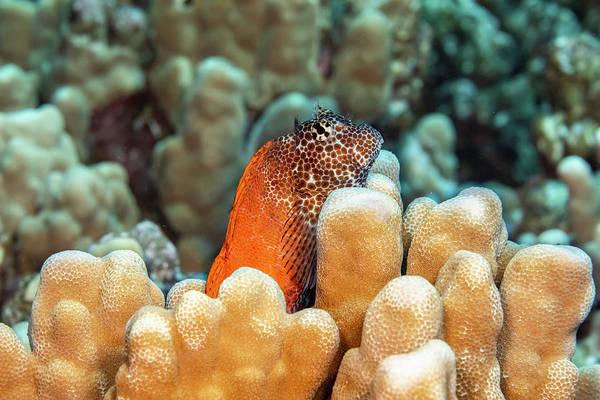 Wall Art - Photograph - This Male Shortbodied Blenny  Exallias by Dave Fleetham