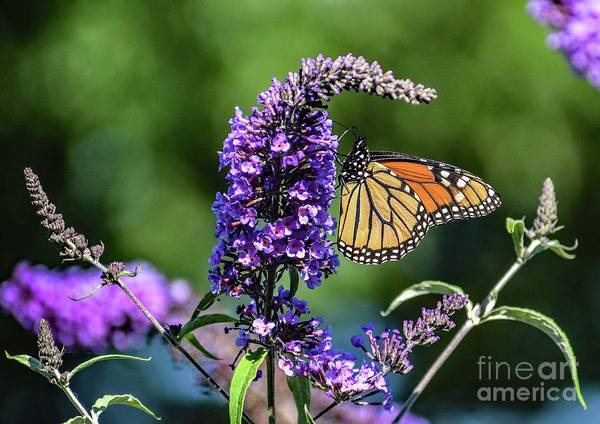 Wall Art - Photograph - This Monarch Is Positioned Perfectly by Cindy Treger