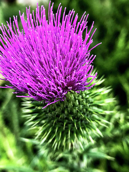 Photograph - Thistle by Joseph Yarbrough