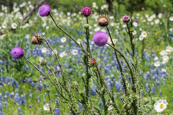 Photograph - Thistle And Wildflowers by Paul Quinn