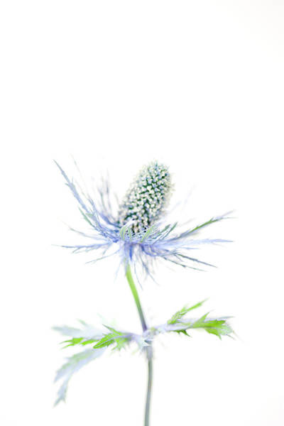 Single Leaf Wall Art - Photograph - Thistle Head And Stem by Nicholas Rigg