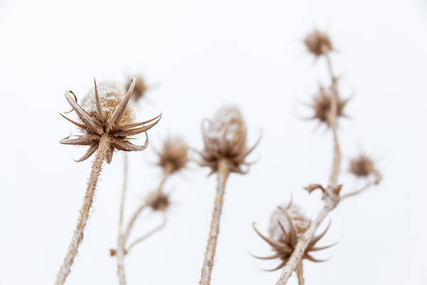 Photograph - Thistle In Winter by Jeanette Fellows
