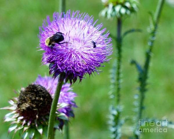 Photograph - Thistle Visitors by Rosanne Licciardi