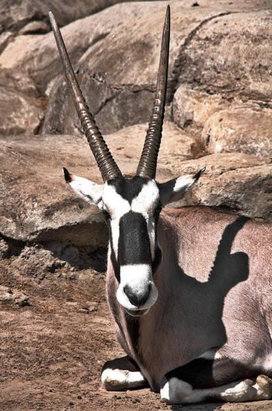 Photograph - Thompson Gazelle by David Resnikoff