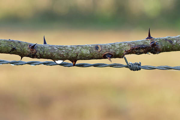 Wall Art - Photograph - Thorns by Richard Rizzo