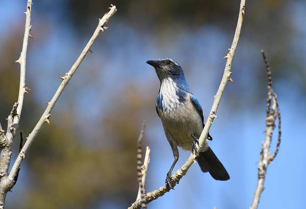 Scrub Jay Photograph - Thorny Perch by Fraida Gutovich