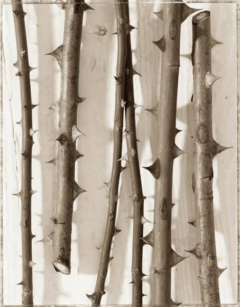 Plant Photograph - Thorny Rose Stems B&w by Rosanne Olson