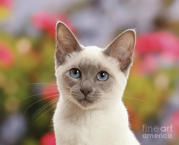 Photograph - Thoughtful Kitten by Warren Photographic