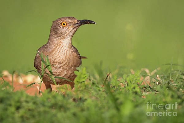 Photograph - Thrasher In The Grass by David Cutts