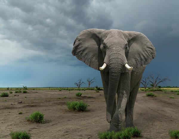 Threat Photograph - Threatening Elephant Loxodonta Africana by Buena Vista Images