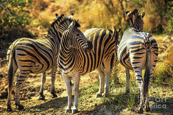 Photograph - Three African Zebras by Benny Marty