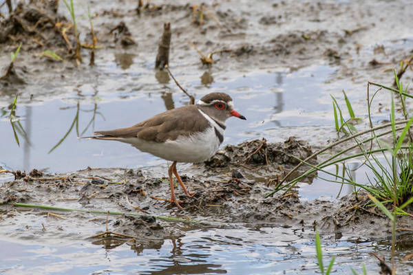 Photograph - Three-banded Plover by Thomas Kallmeyer